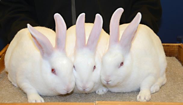 usaha ternak kelinci